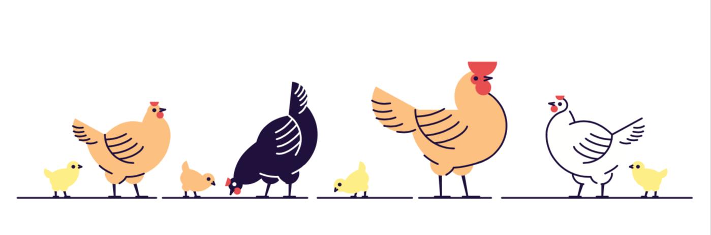 白肉雞、有色肉雞