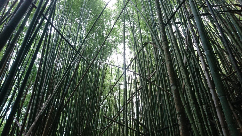 司馬庫斯神木群兩側的桂竹林群