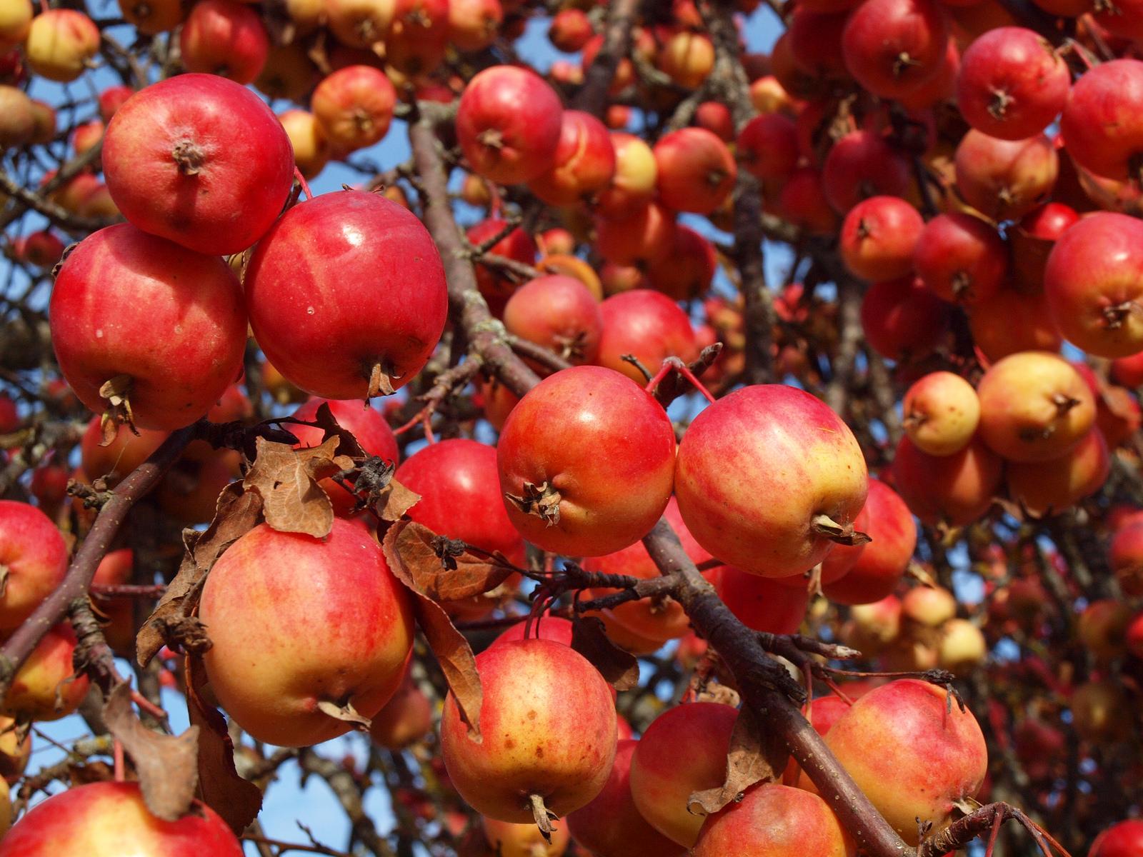 ▲ 蘋果的寓意和顏色都很適合過年送禮。