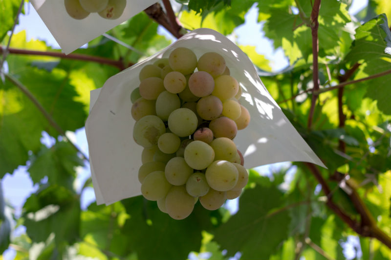 ▲ 綠葡萄有大量維生素A,具有護眼的功效。