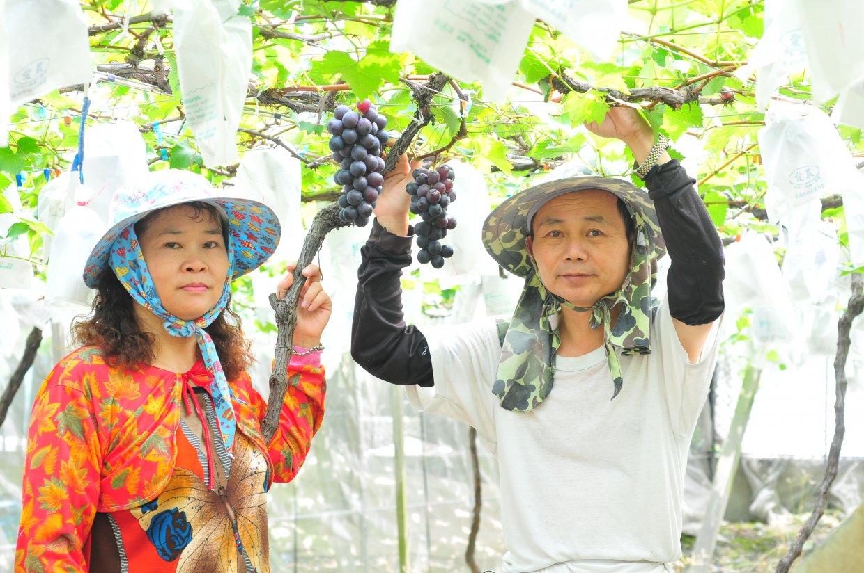 ▲ 農場堅持以無毒的栽種方式,完全手工套袋、無施打催熟劑,讓每一位客人都可以吃得安心。