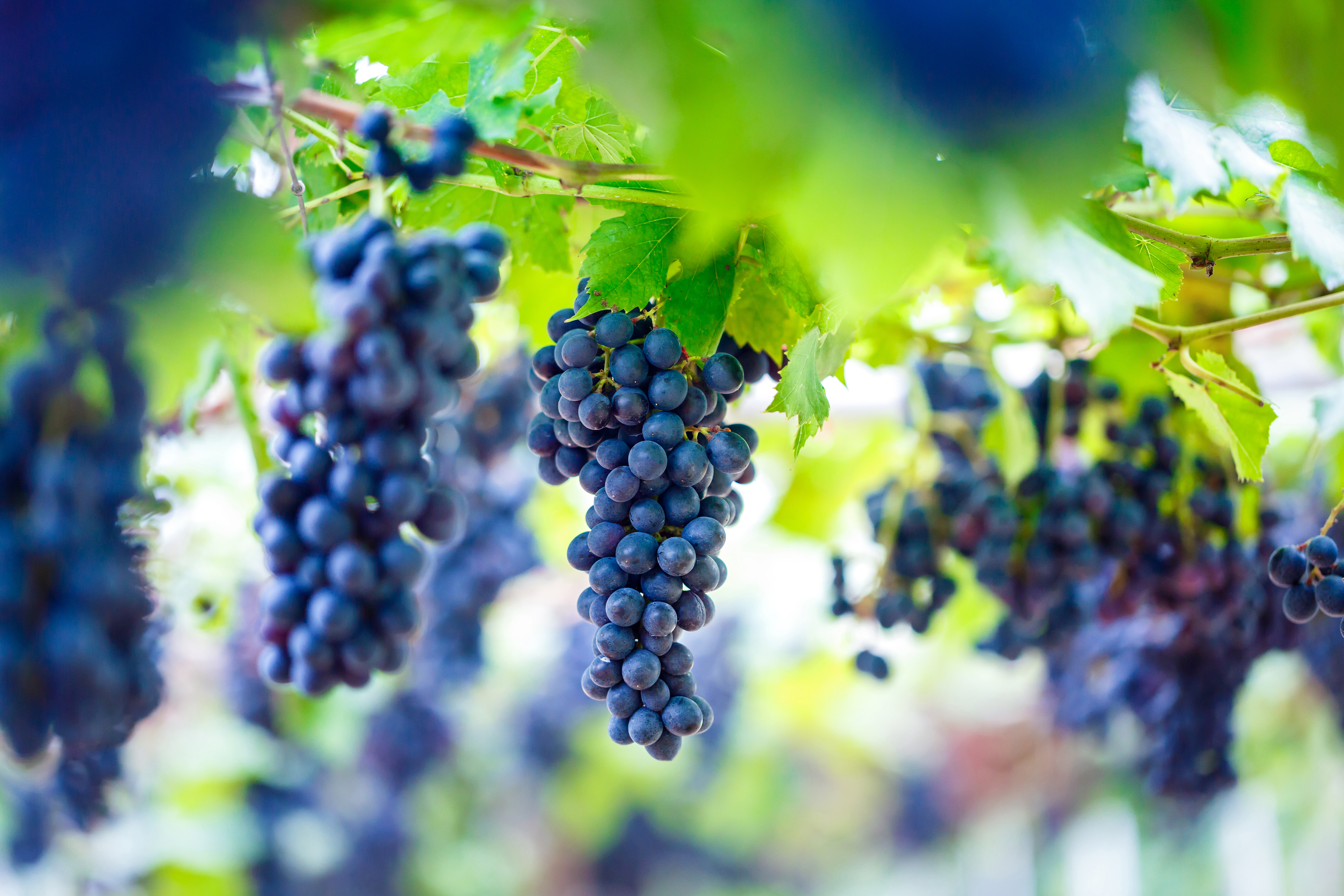 Close Up,Of,Bunches,Of,Ripe,Red,Wine,Grapes,On,Vine