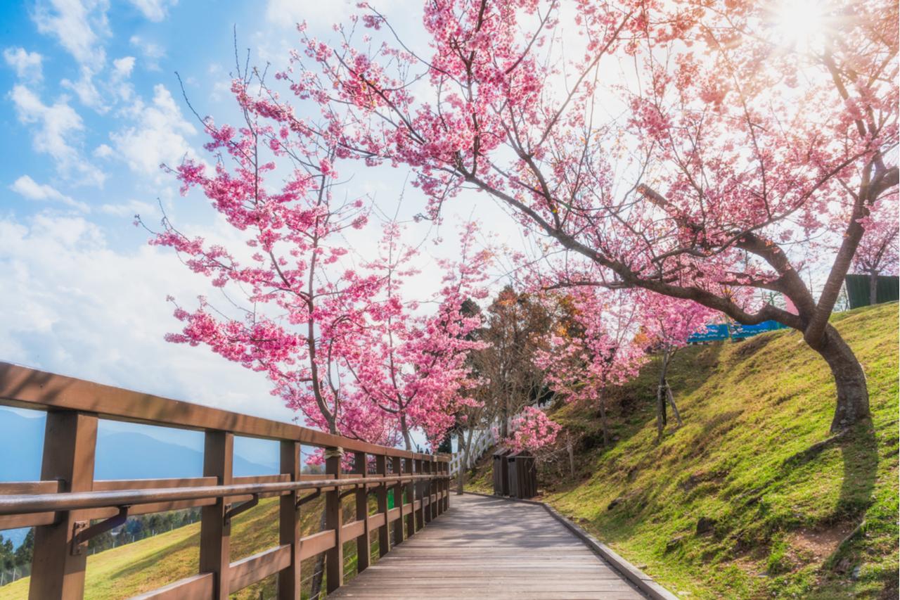 櫻花追好追滿免出國!台灣賞櫻景點 從北到南不藏私大公開