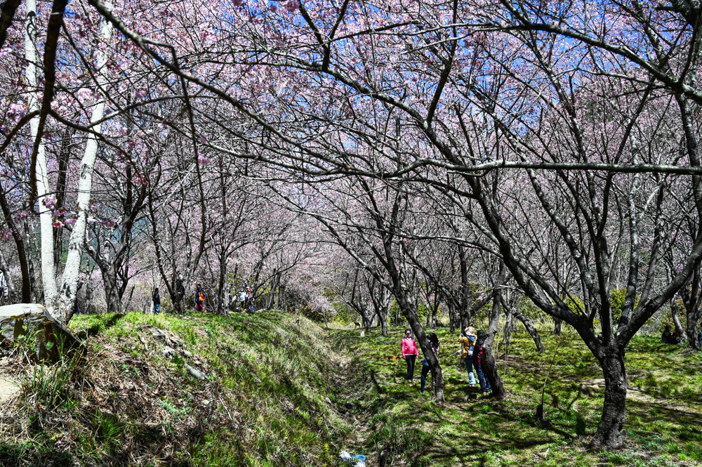 愛在武陵農場⼀日遊|冬季武陵農場賞梅賞雪、和櫻花鉤吻鮭午餐