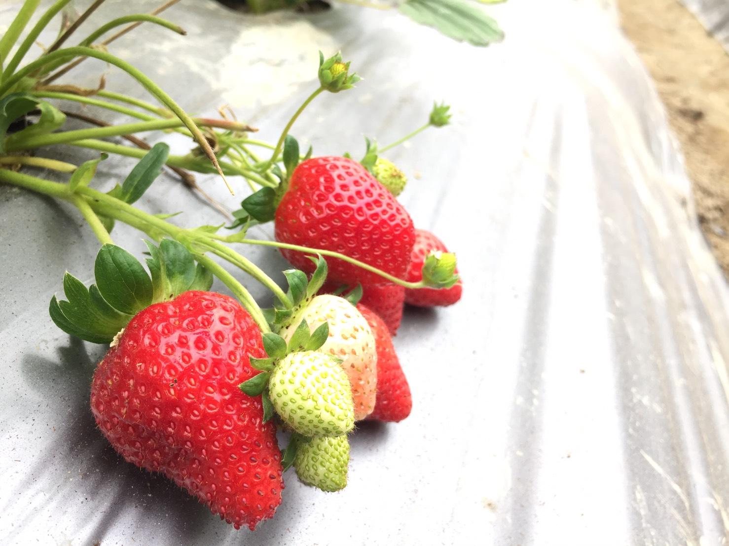 ▲你知道嗎?草莓品種有超多!