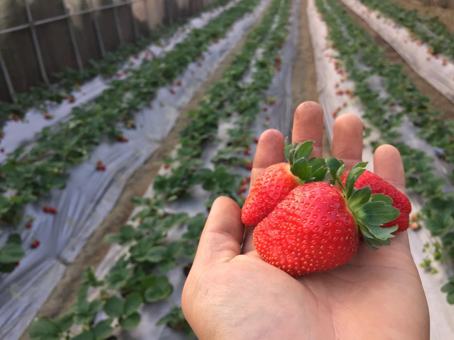 ▲豐香草莓體型較為巨大~