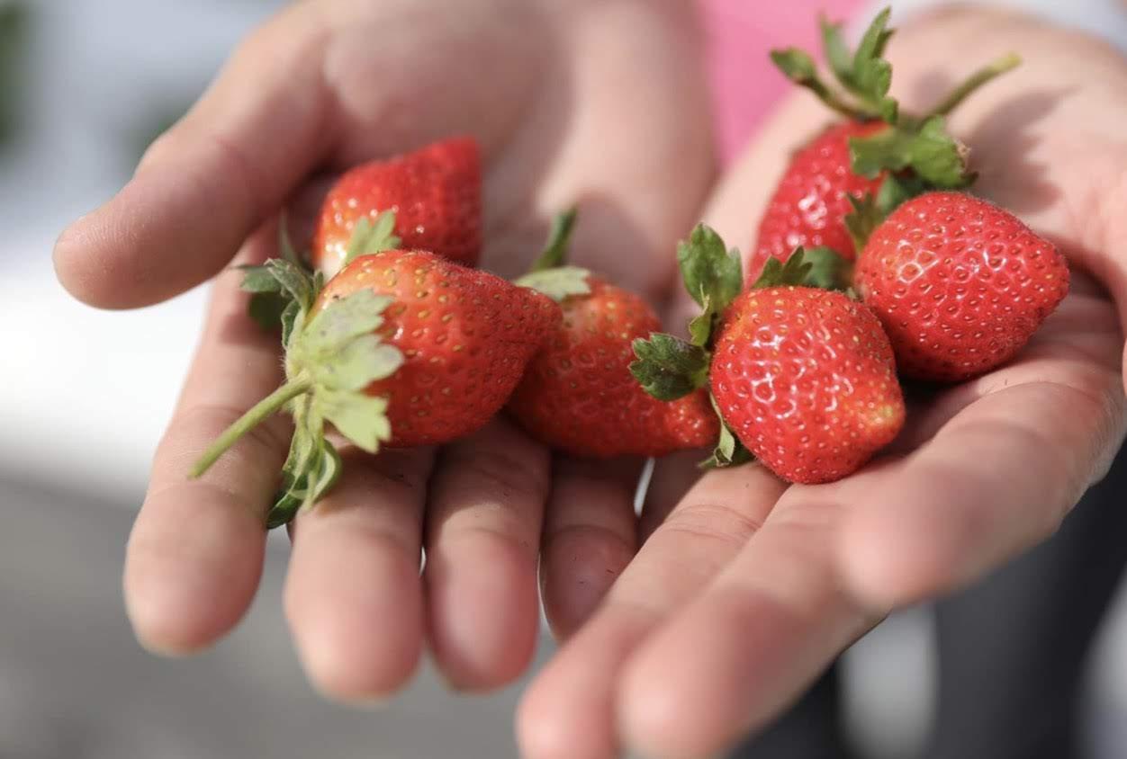 ▲香水草莓好種很多~