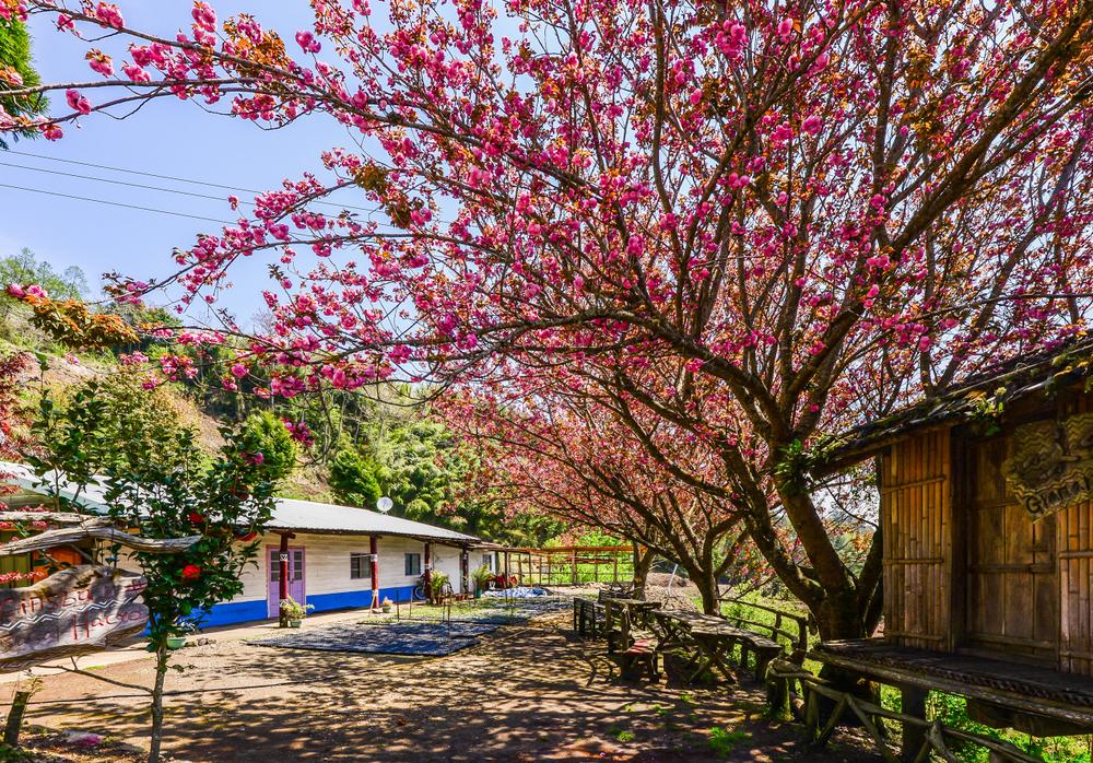 春天時可見司馬庫斯部落的櫻花開