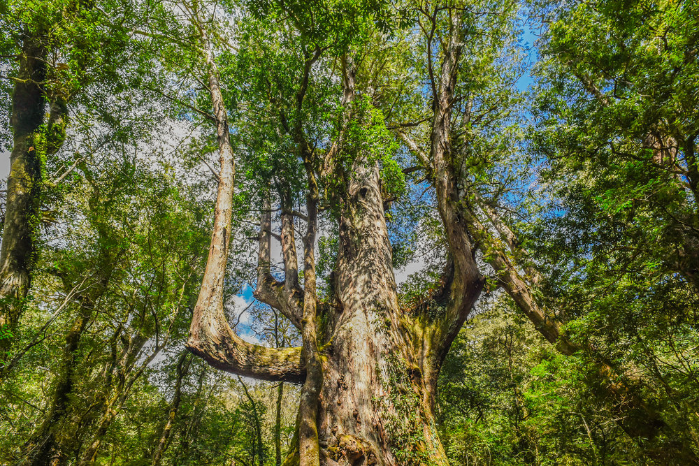 司馬庫斯「大老爺巨木」