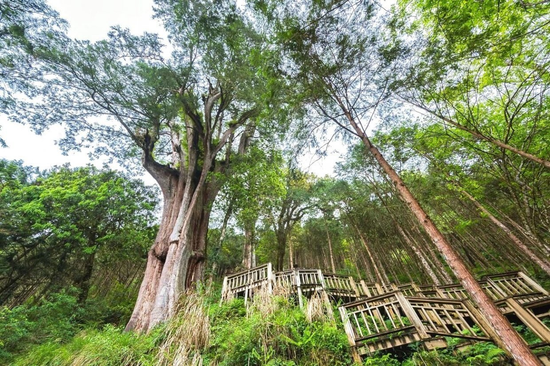 棲蘭神木園