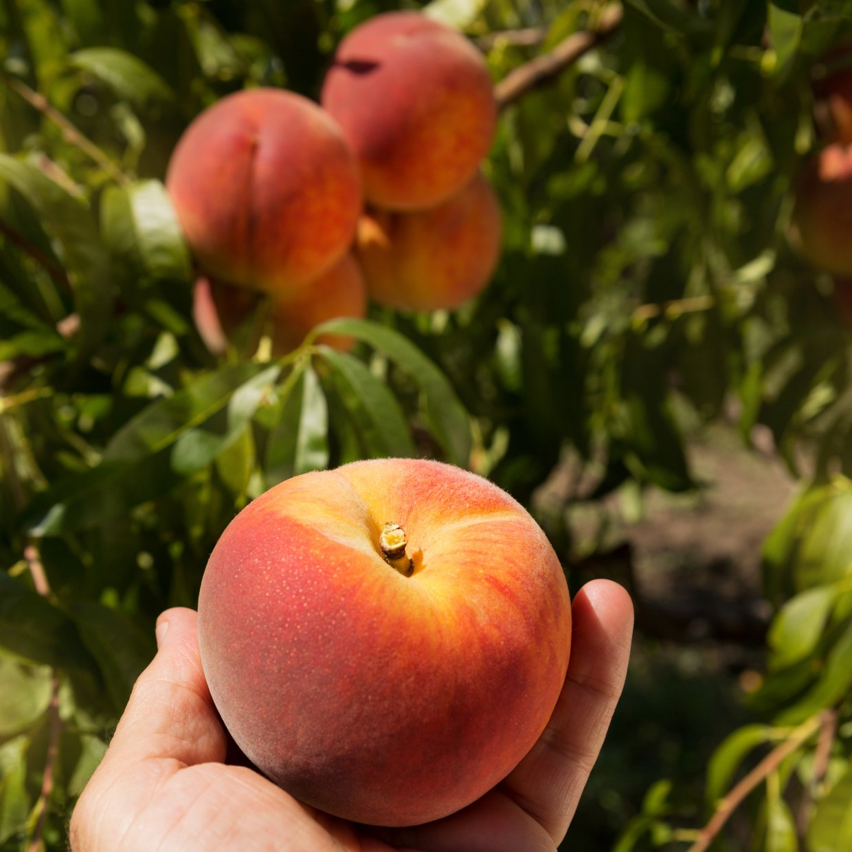 ▲好吃的紅玉桃等你來吃!