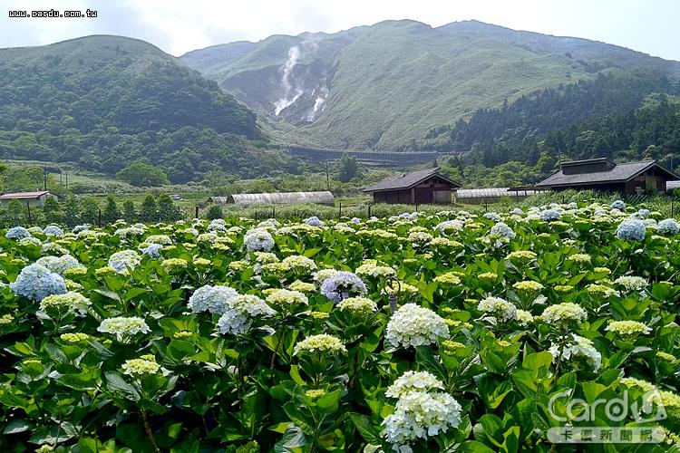 竹子湖海芋季和繡球花季