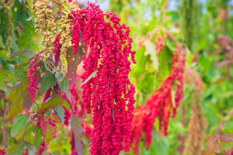 台東賞紅藜秘境~大自然最美的紅藜地毯在台東現蹤跡