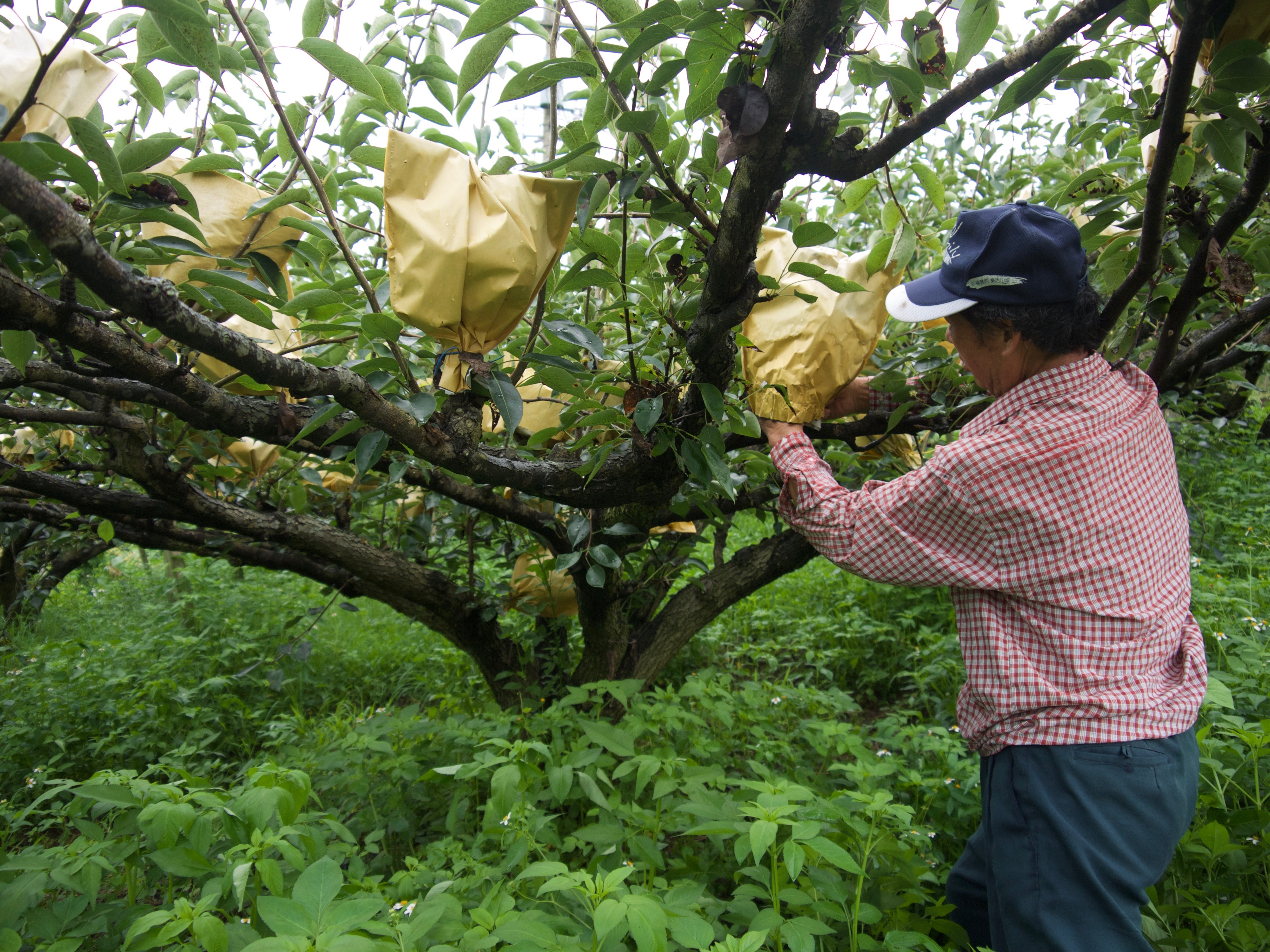 常見及稀有種梨子有哪些?|雪梨水梨不一樣,分辨梨子品種看這篇!