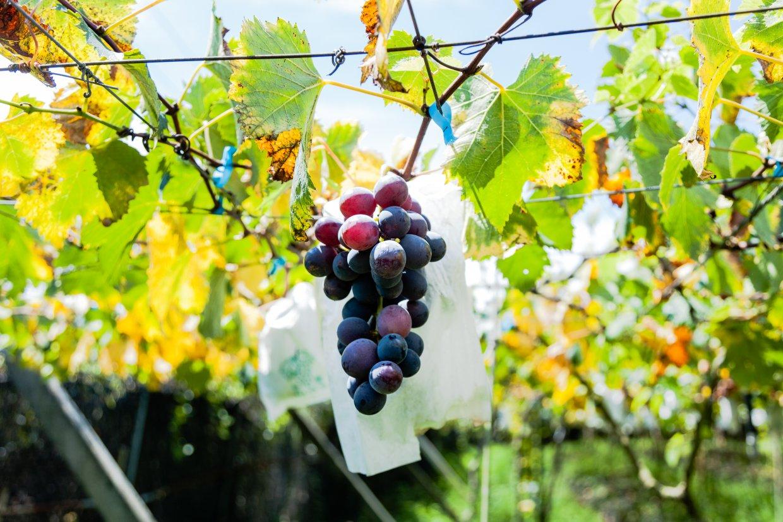 葡萄種類分夏果冬果