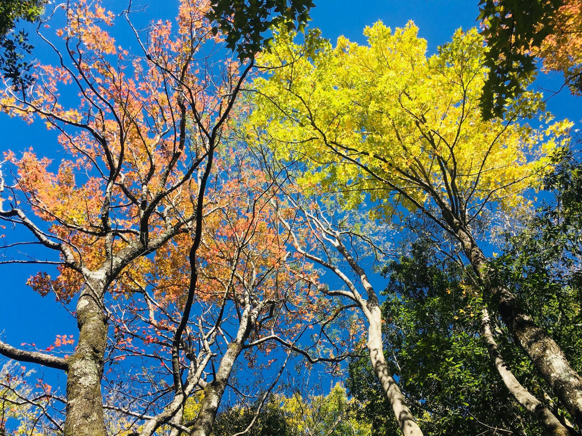 「奧萬大森林遊樂區」超完整賞楓攻略 奧萬大賞楓景點整理