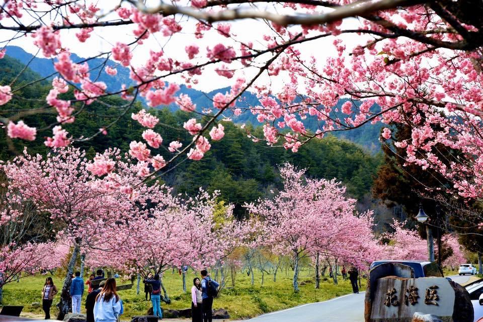武陵農場賞櫻攻略|滿山櫻花怒放 漫步在粉紅浪漫櫻花海中
