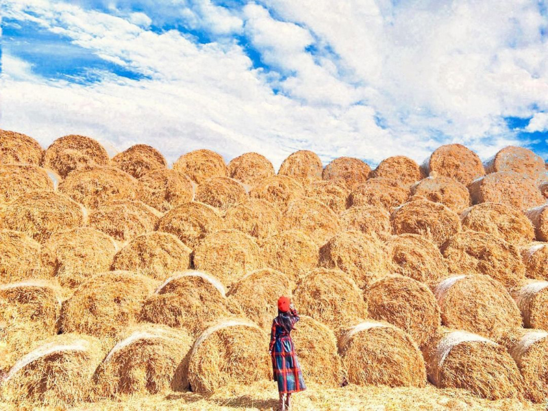 雲林秋冬限定「巨大捲心酥」出沒!隱藏版稻草秘境讓你免費拍