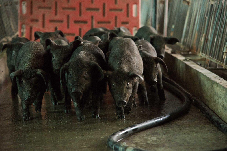 萊豬大解密:平埔黑豬