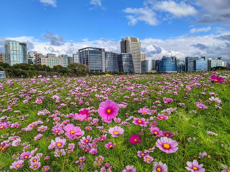 台北河濱最大花海登場!三千坪粉紅色波斯菊、百日草接力綻放