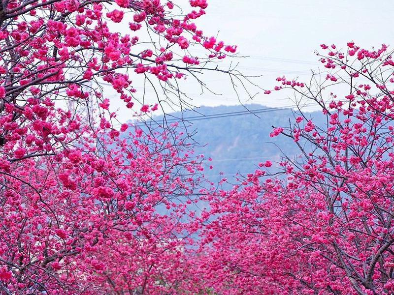 全台最美派出所!台中兩大賞櫻私房景點,櫻花炸開如粉紅天堂