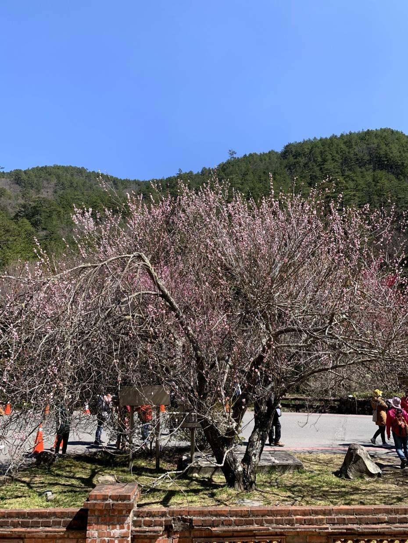 武陵農場賞櫻攻略|跟著繽紛粉嫩的撒枯拉來趟夢幻的一日遊