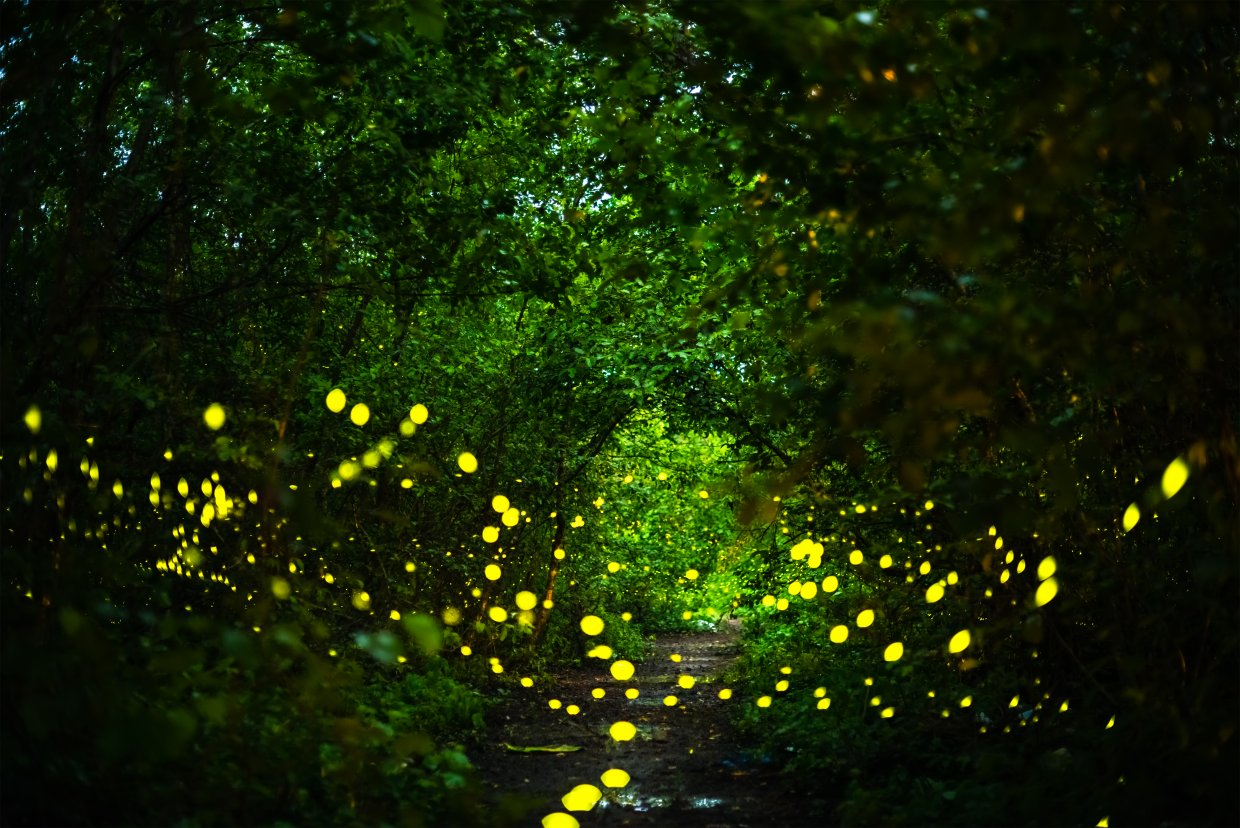 Firefly,,Lightning,Bugs,Flying,At,Night,In,The,Forest,In