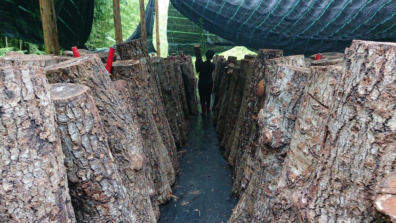 用椴木法種植香菇的成本十分高昂