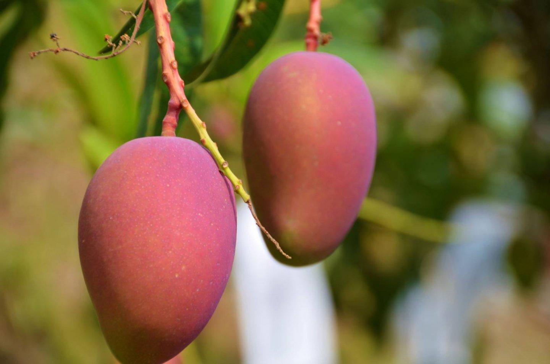 台灣常見的芒果品種-愛文芒果