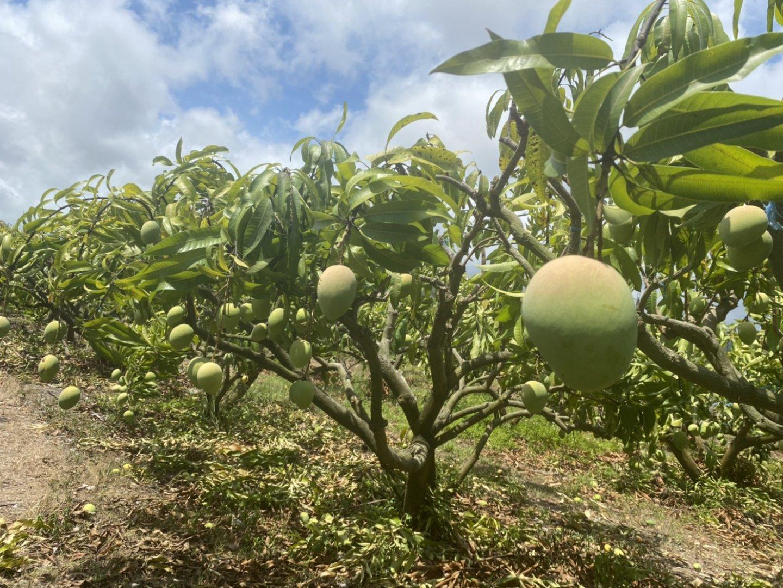 台灣特殊芒果品種-金蜜芒果