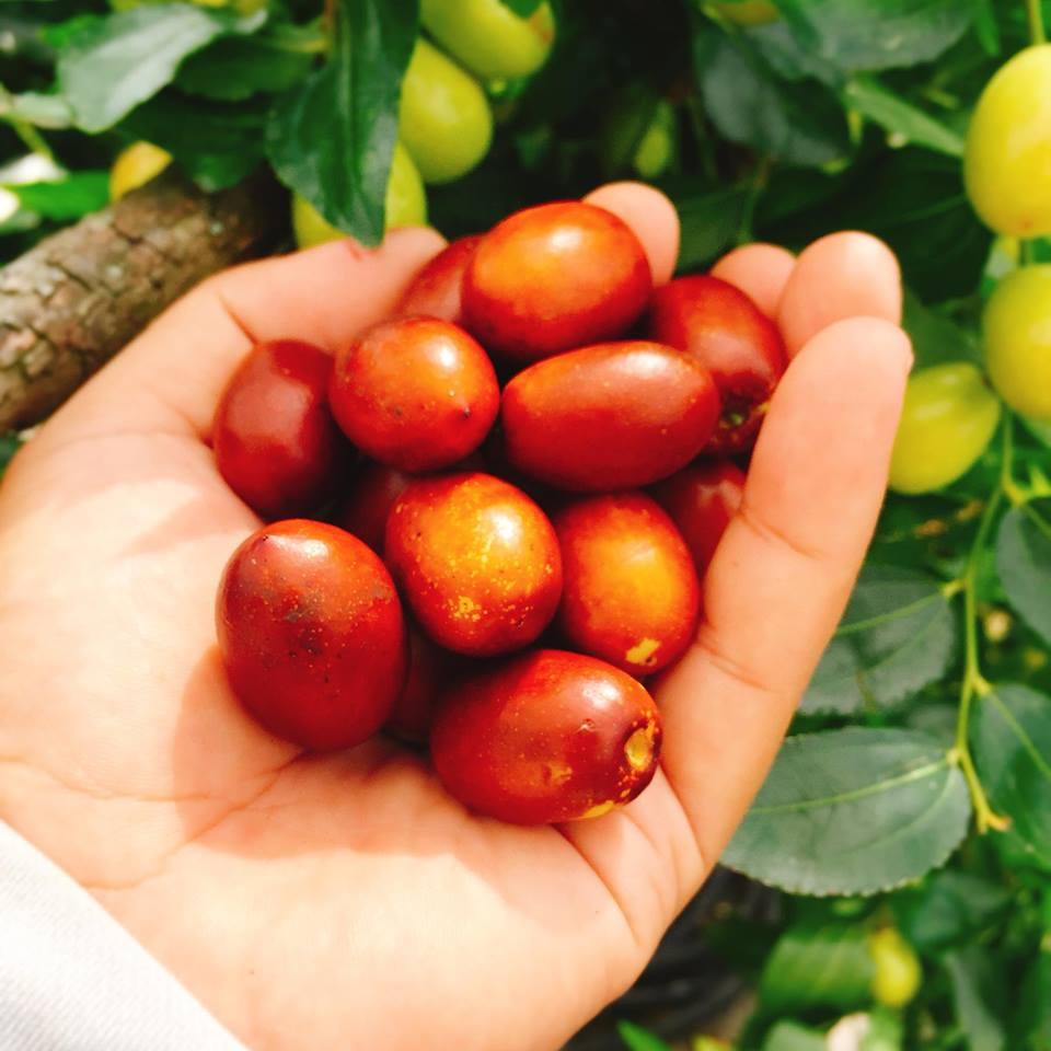 新鮮紅棗的外皮紅色越多越深,表示甜度比較高