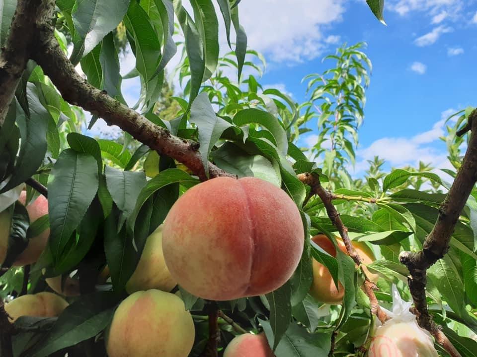 果樂園 水蜜桃