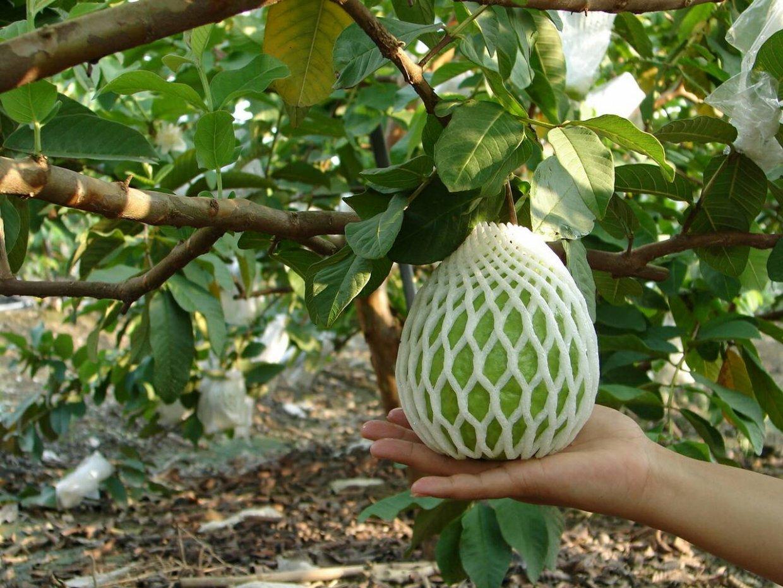 芭樂的營養豐富,維生素C含量還是水果中最高的!