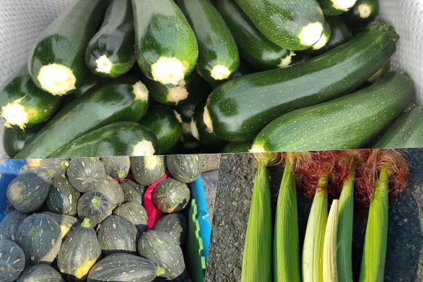 瓜果根莖類的產量穩定,保鮮期也很長,也是防颱必備品之一。