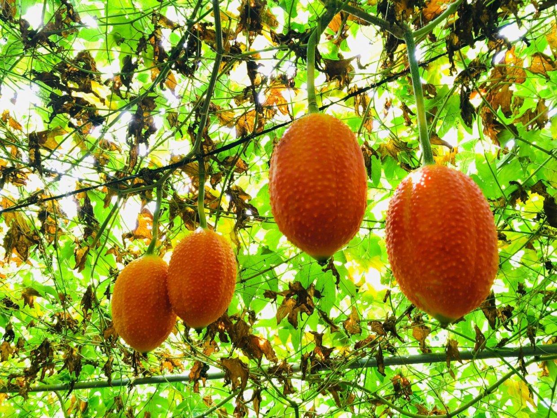 高營養價值的木虌果,在歐美稱為來自天堂的果實