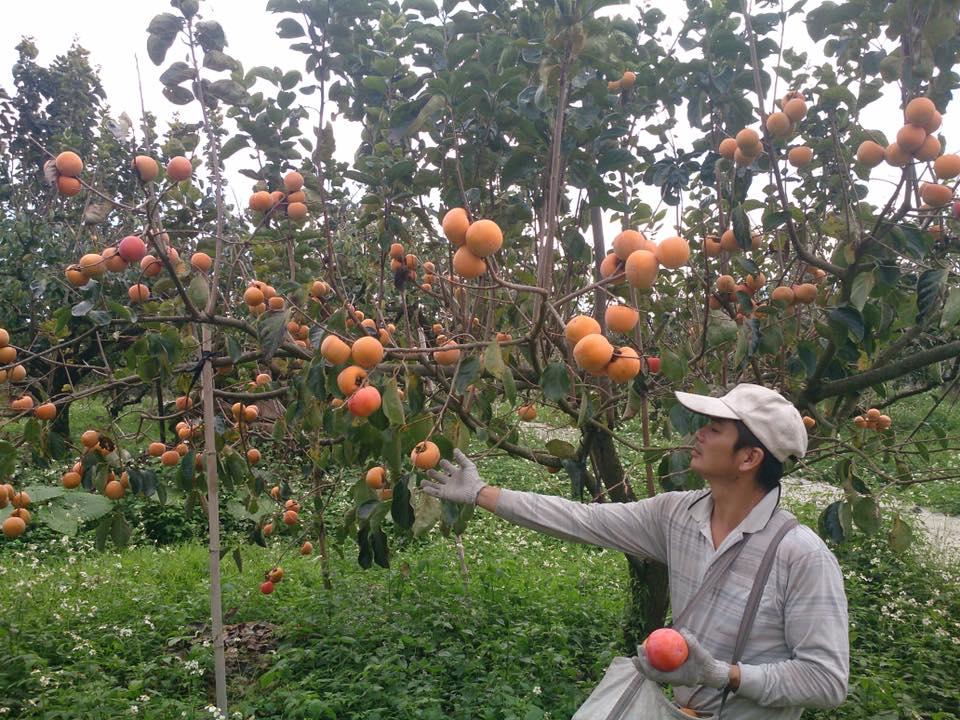 牛心柿 脆柿 (21)