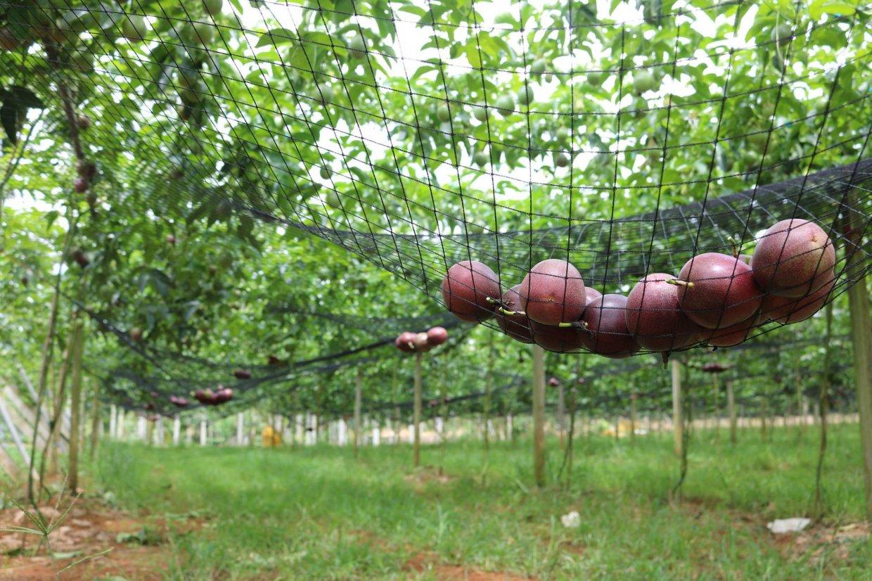 果園裡架上網子是為了讓百香果自然熟成掉落而不會受到碰撞,不僅外觀更完美,也能保有原來的甜度